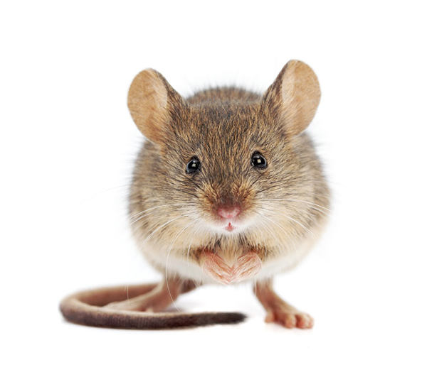 How Much Does a Mouse or Rat Exterminator Cost
