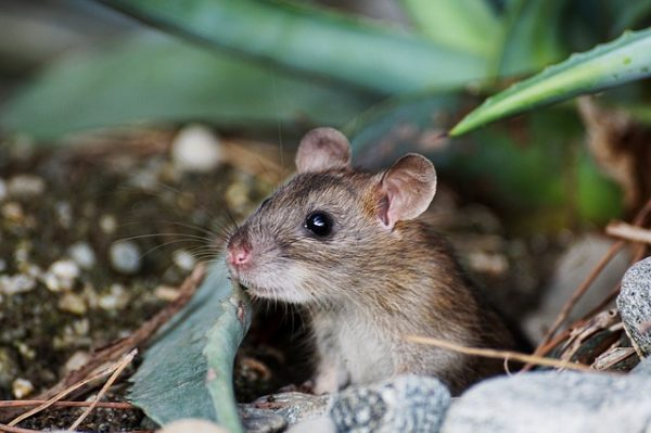 Hiring a Professional Mice Exterminators or Doing-It-Yourself